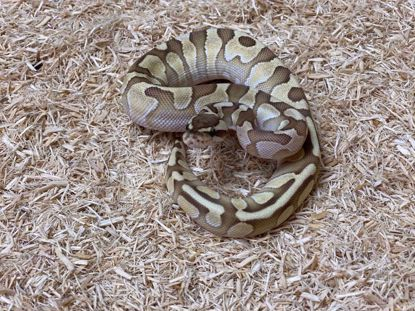 Picture of Male Lesser Enchi Double Het Ghost/Clown Ball Python